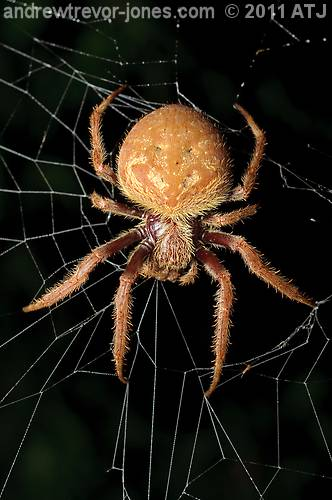 Garden orb weaver Andrew Trevor Jones Nature Photography