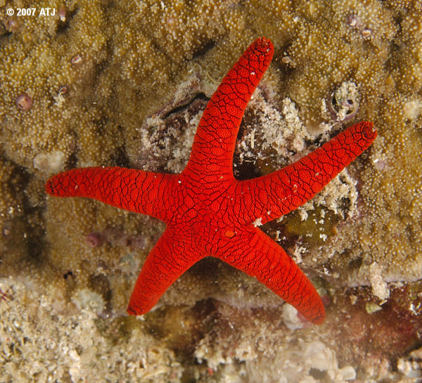Red sea star, Fromia indica