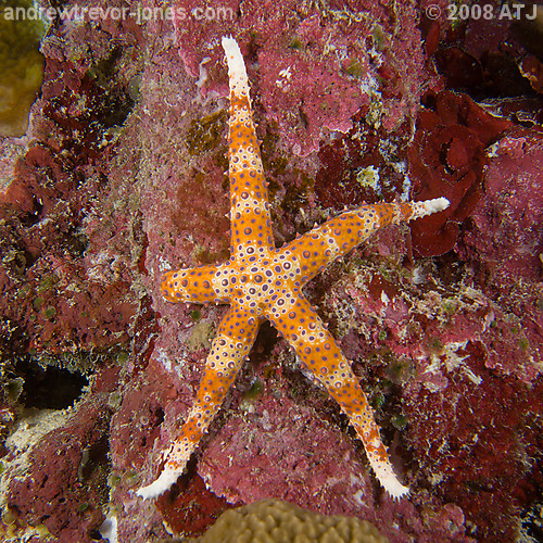 Egyptian sea star, Gomophia egyptiaca