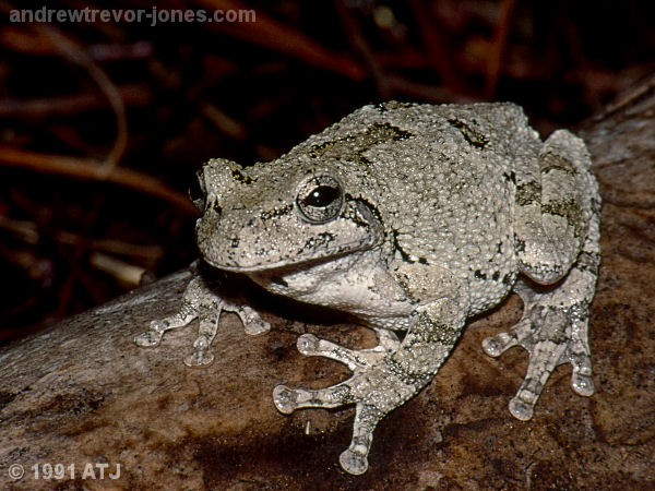 Gray tree frog, Hyla sp,