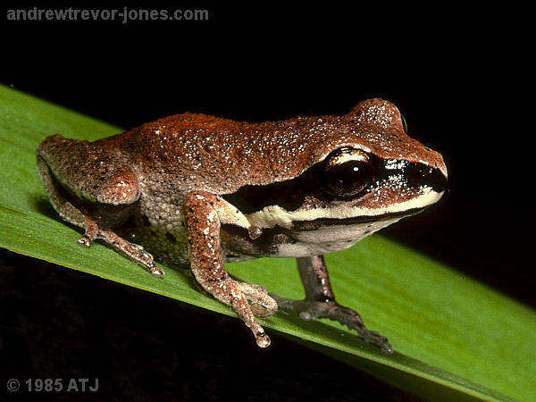 Green-thighed tree frog, Litoria brevipalmata