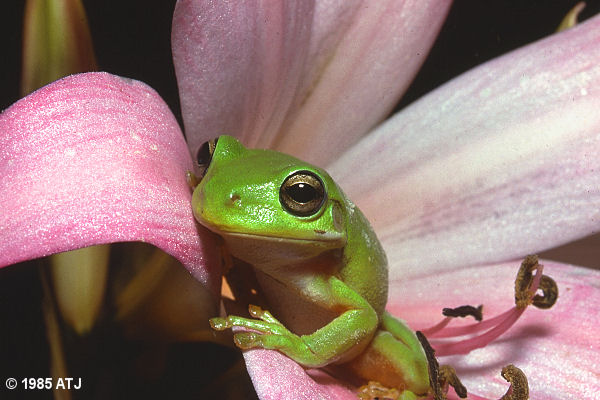 Green tree frog, Litoria caerulea