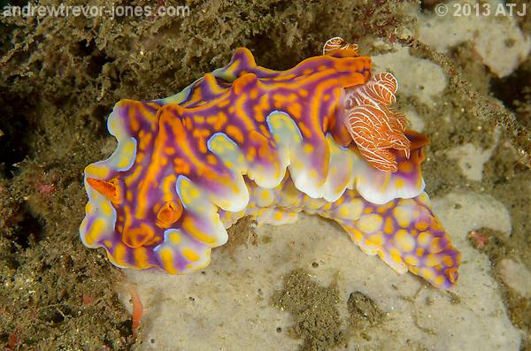 Nudibranch, Miamira magnifica