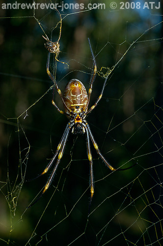 Golden orb weaver, Nephila sp.