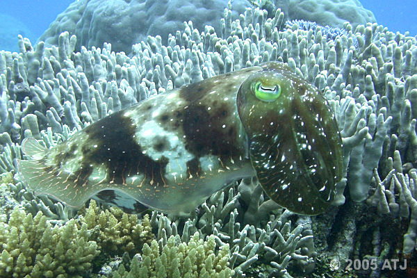 Broadclub cuttlefish, Sepia latimanus