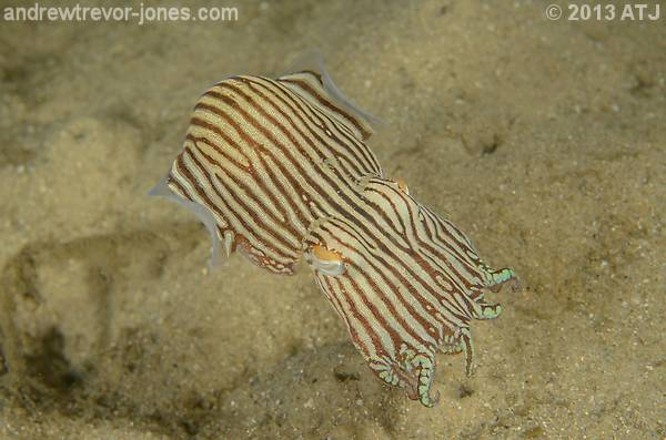 Striped pyjama squid, Sepioloidea lineolata