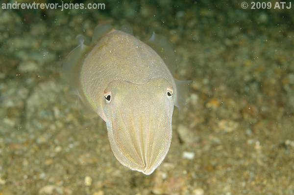 Mourning cuttlefish, Sepia plangon