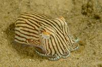Bottletail Squid